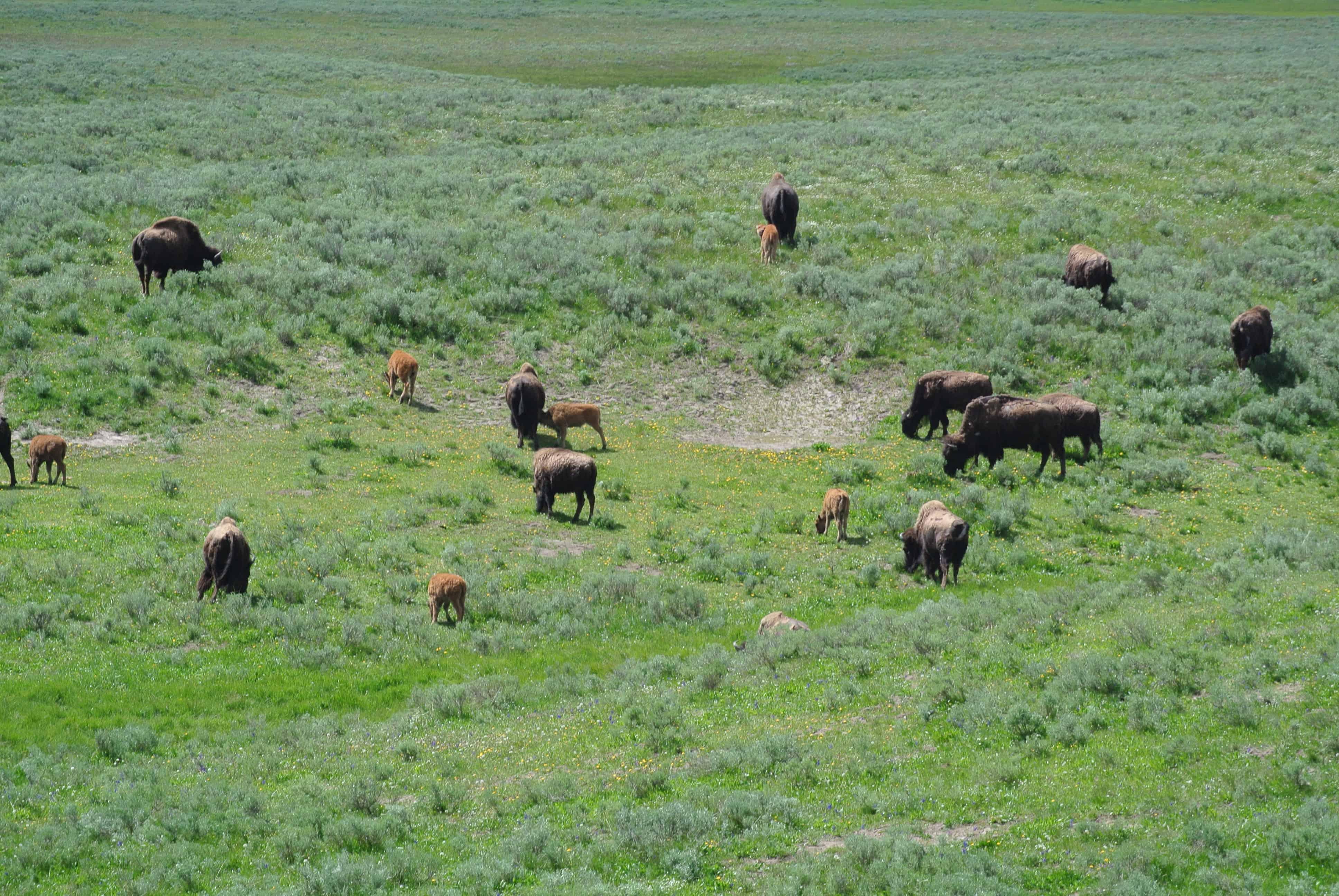 bison_herd_babies