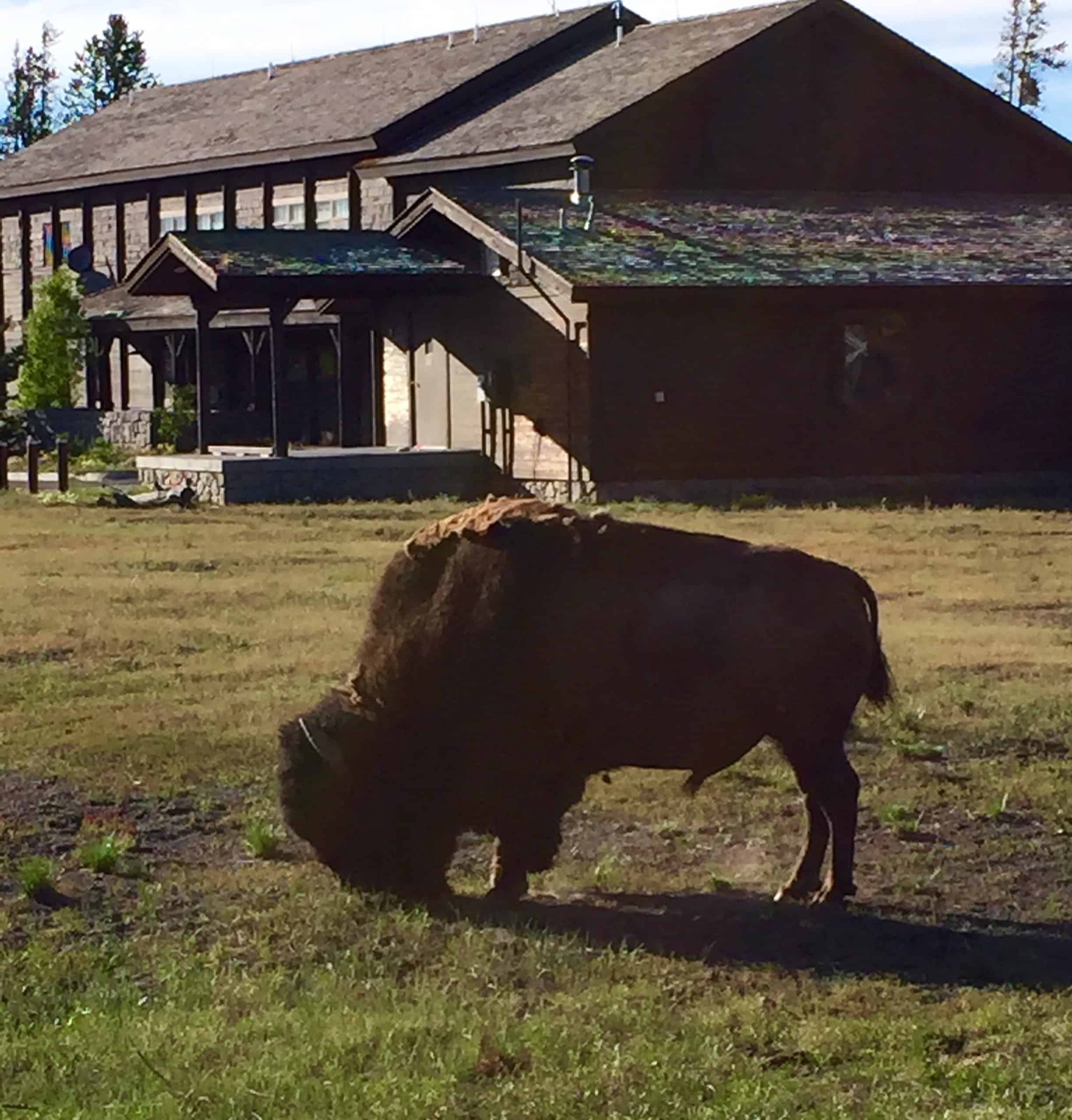bison_old_faithful